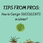 How to Care for Succulents in Winter?